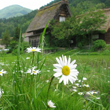 Houses and a flower meadow with margarites in Shirakawa-gō