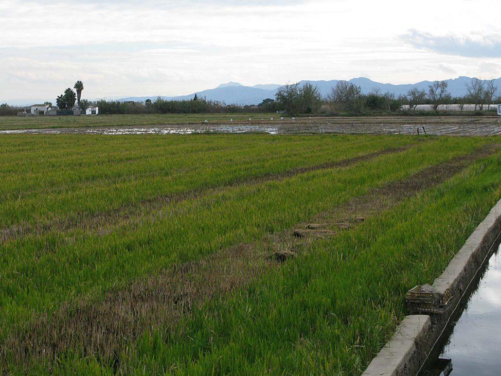 Reisfelder von El Palmar bei Valencia