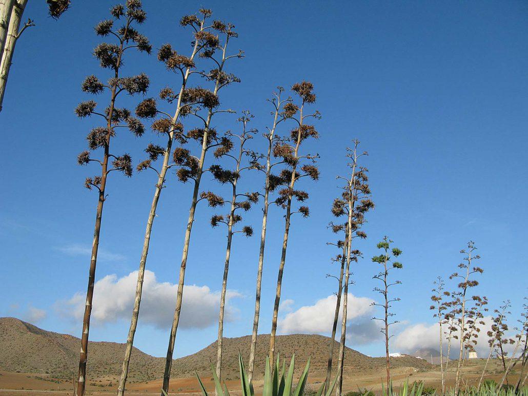 Blütenstände der Agaven
