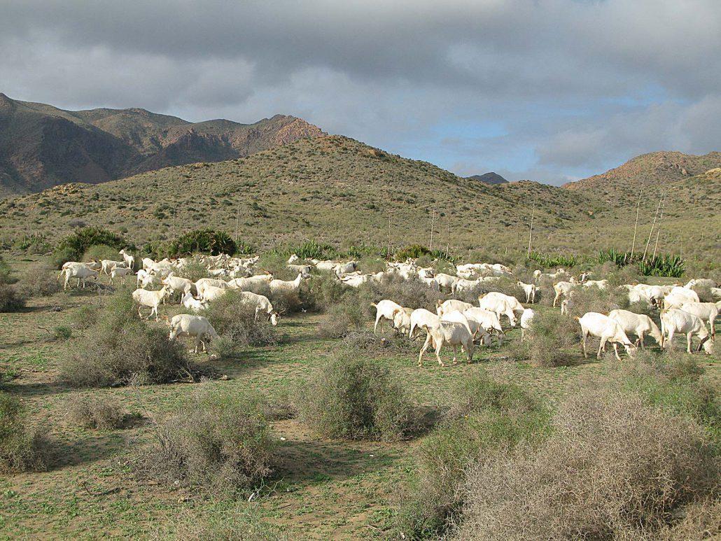 Schafherde im Parque Natural del Cabo de Gata-Níjar