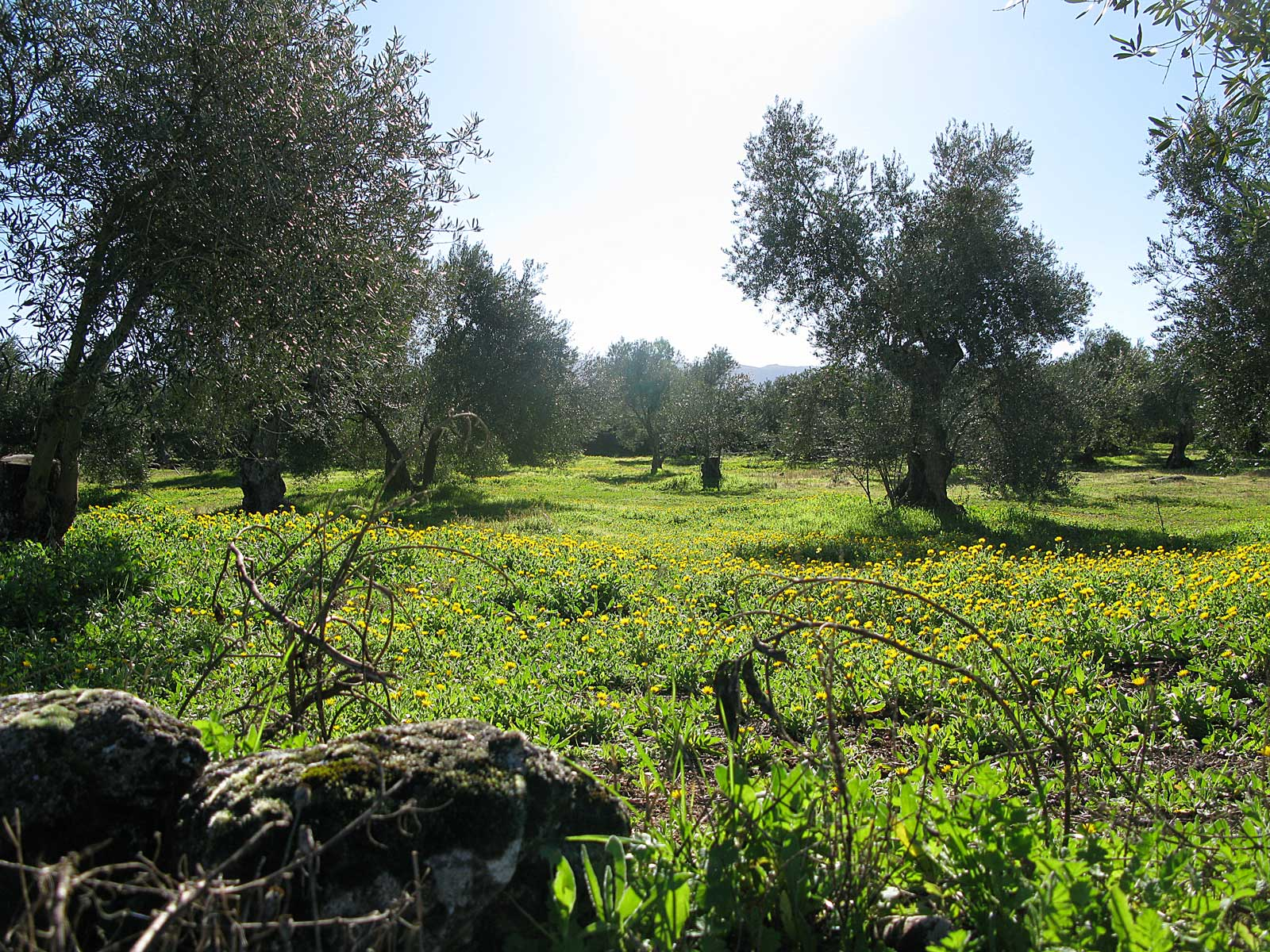 Olive orchard in Ronda