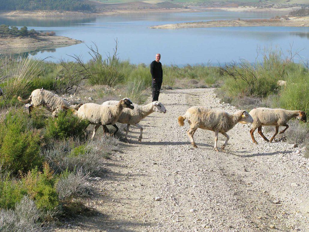Schafe überqueren einen Schotterweg am Embalse del Guadalhorce während Win sie dabei beobachtet