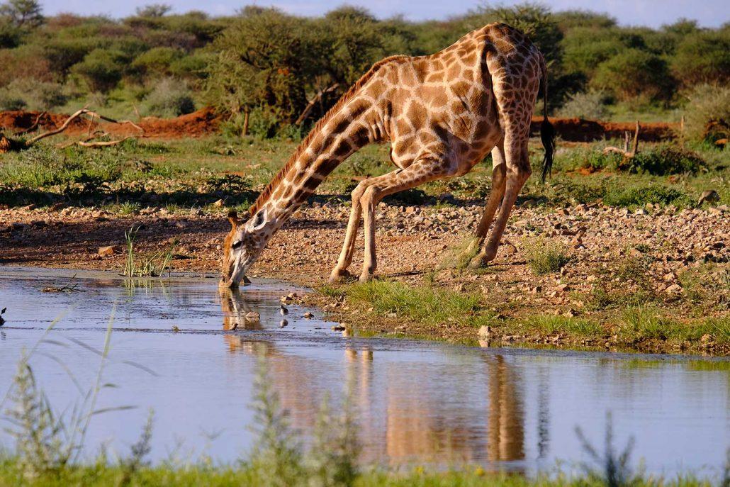 Giraffen im Erindi Private Game Reserve