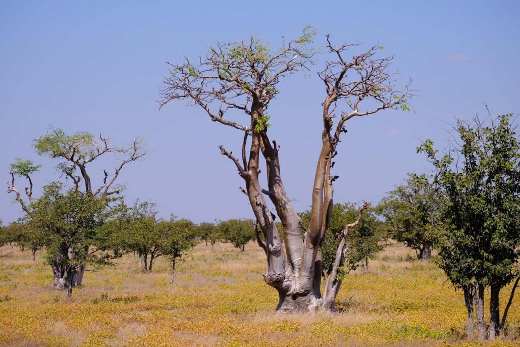 Baobao Tree