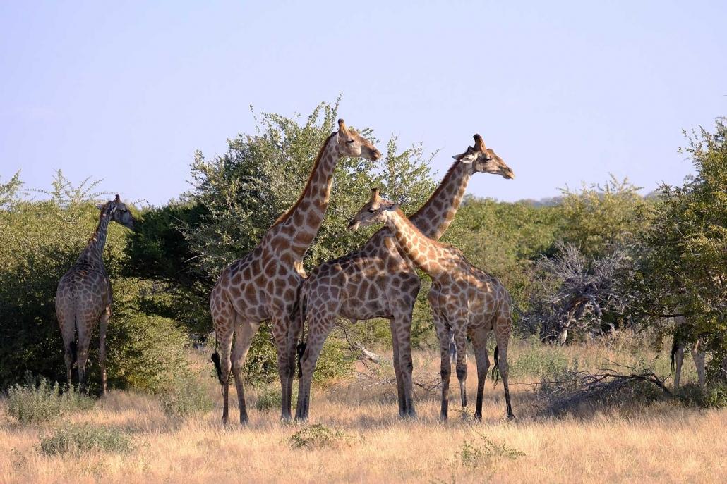 Giraffen im Etosha National Park
