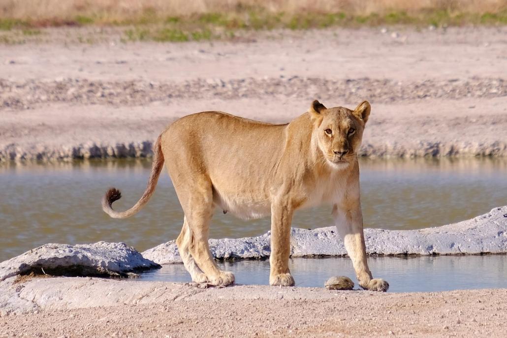 Löwin am Wasserloch