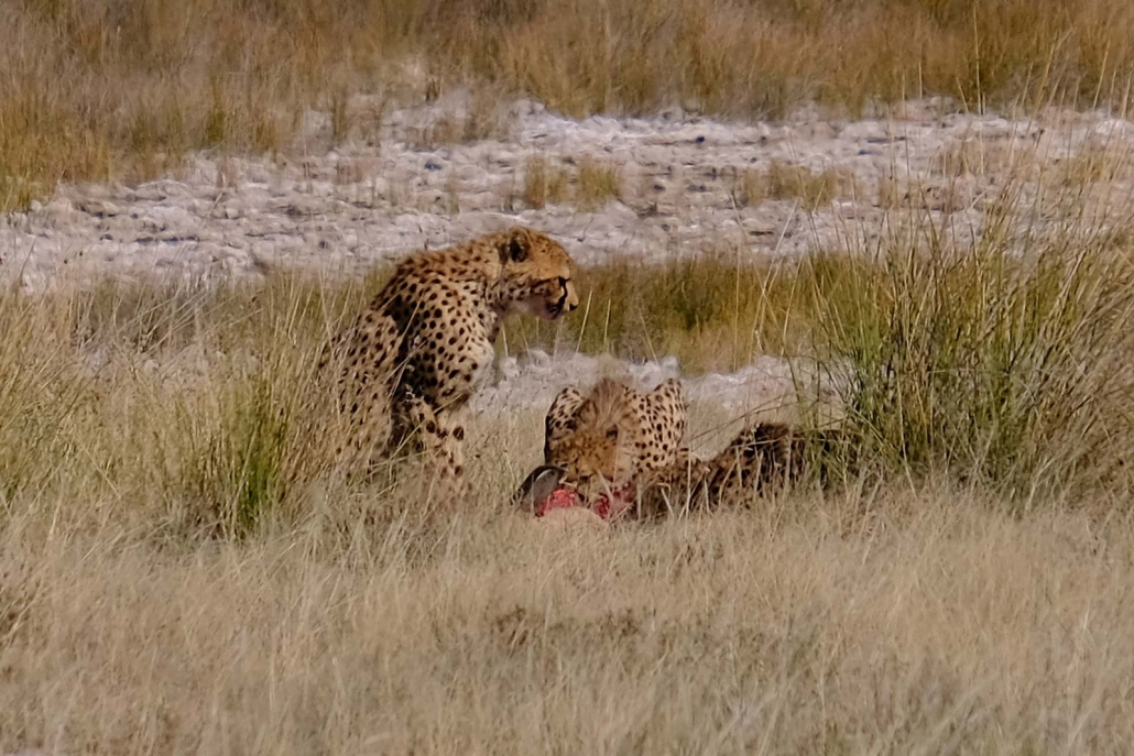 Geparden mit Beute