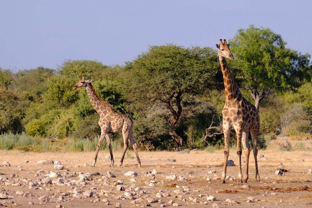Zwei Giraffen im Etosha National Park