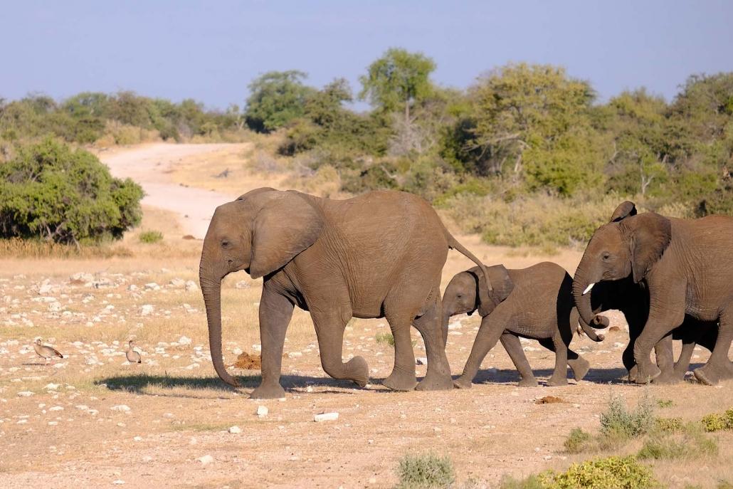Elefantenherde eilt zum Wasserloch
