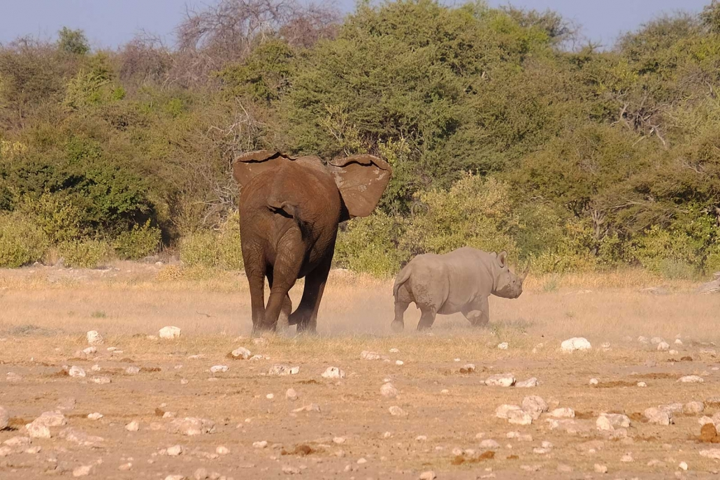 Elefant verjagt Nashorn
