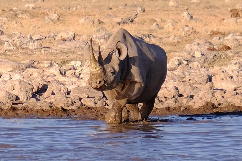 Nashorn am Wasserloch
