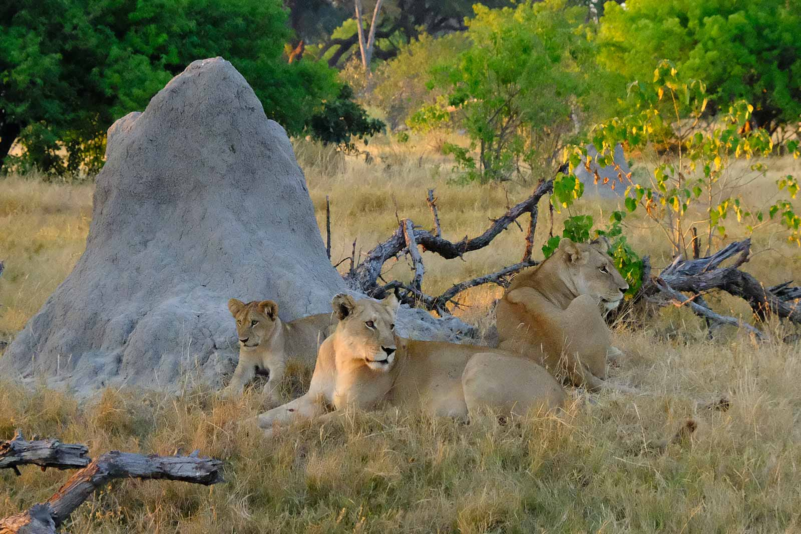 Lion family early in the morning