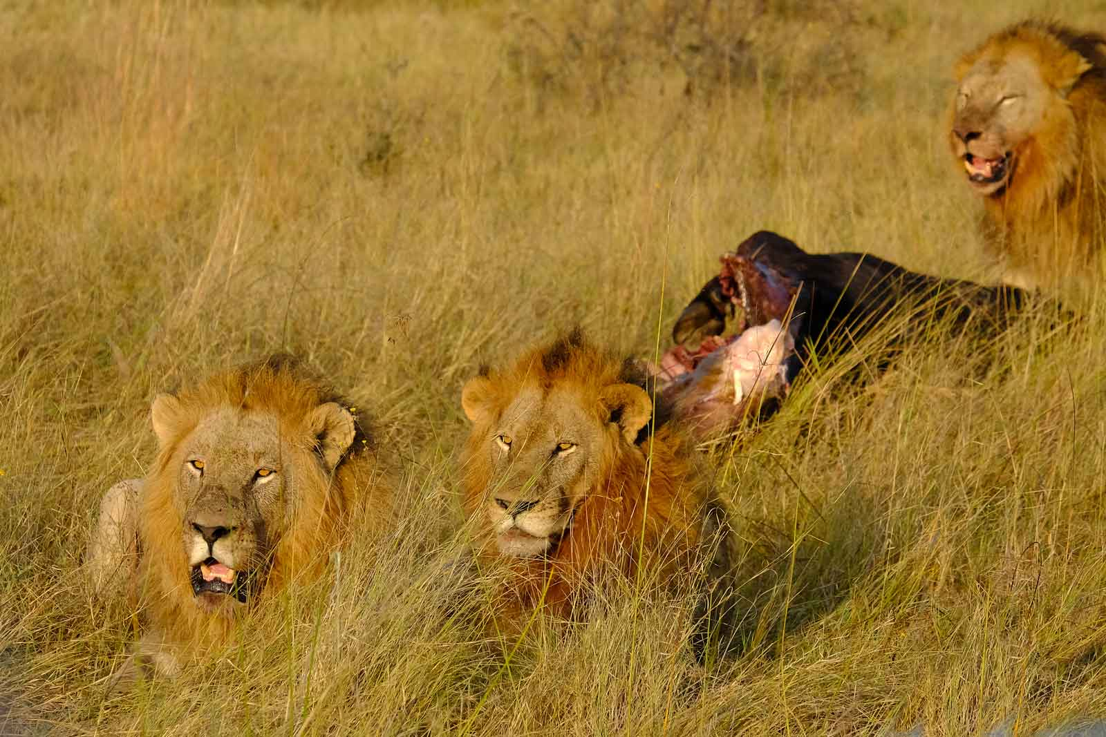 Three lion brothers and their prey