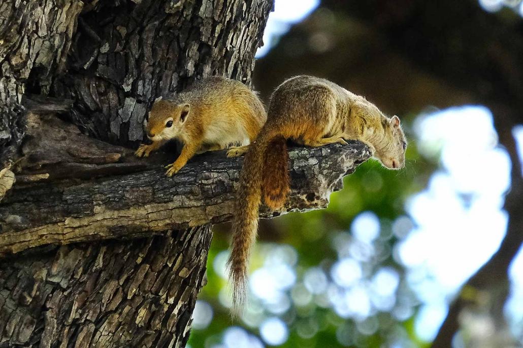 Afrikanische Baumeichhörnchen