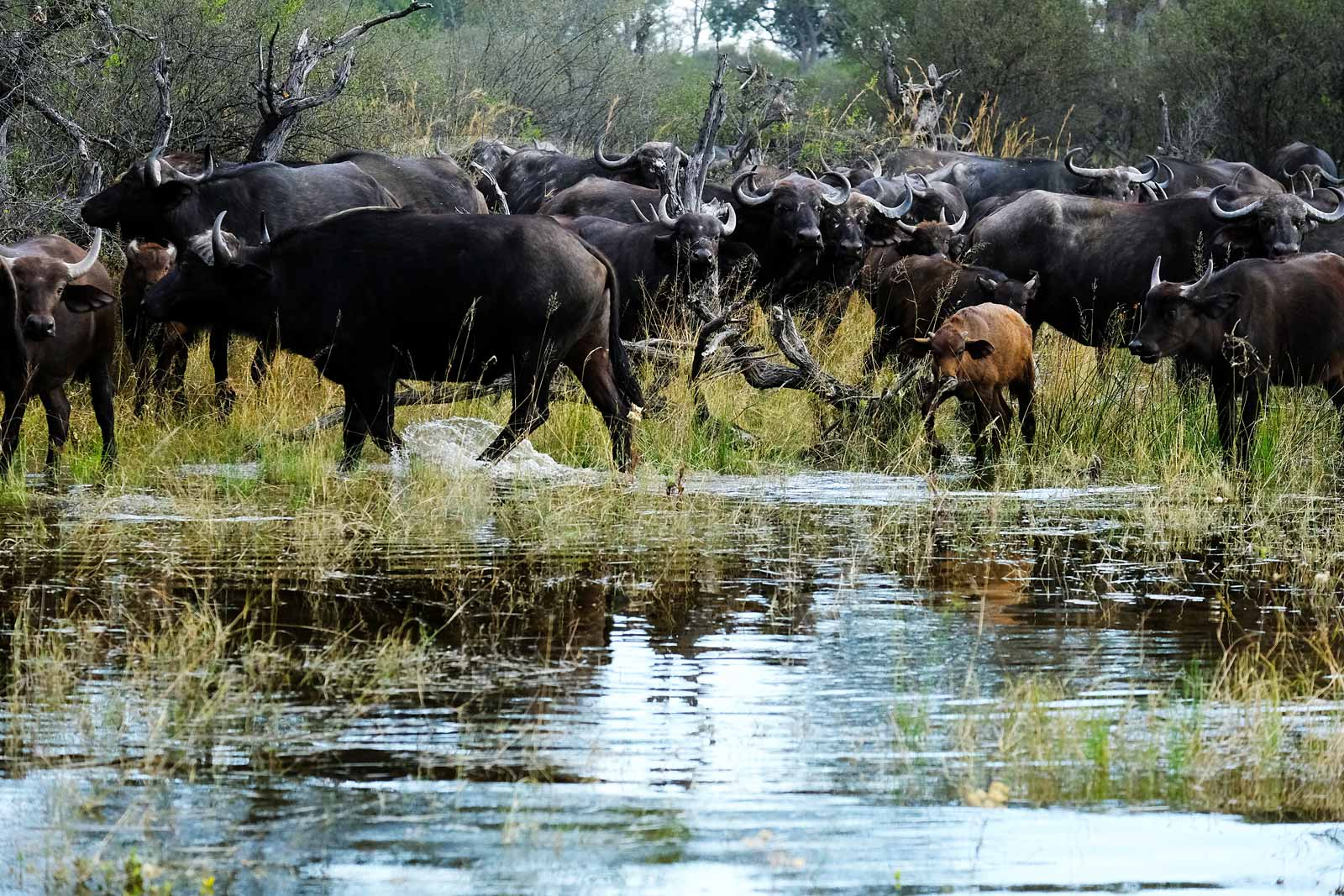 Herd of buffalo in the Okavango Delta