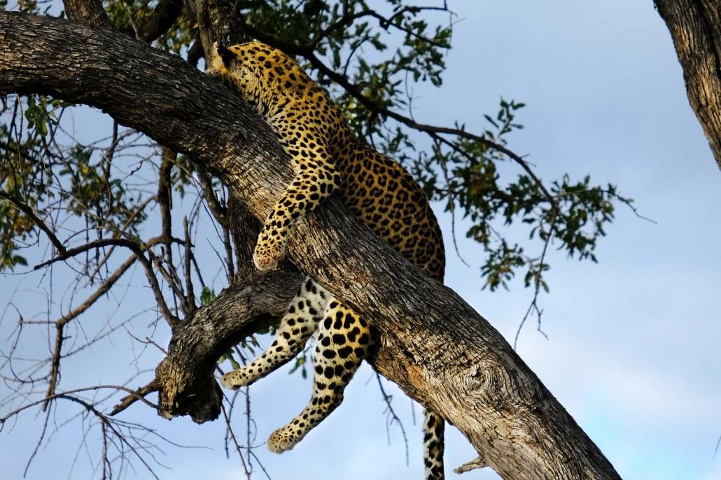 Leopard liegt auf einem Ast