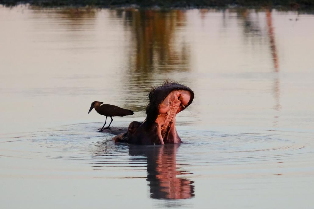 Flusspferd im Wasser mir offenem Maul