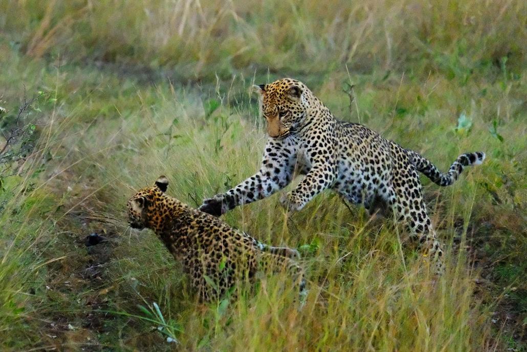 Spielende Leoparden