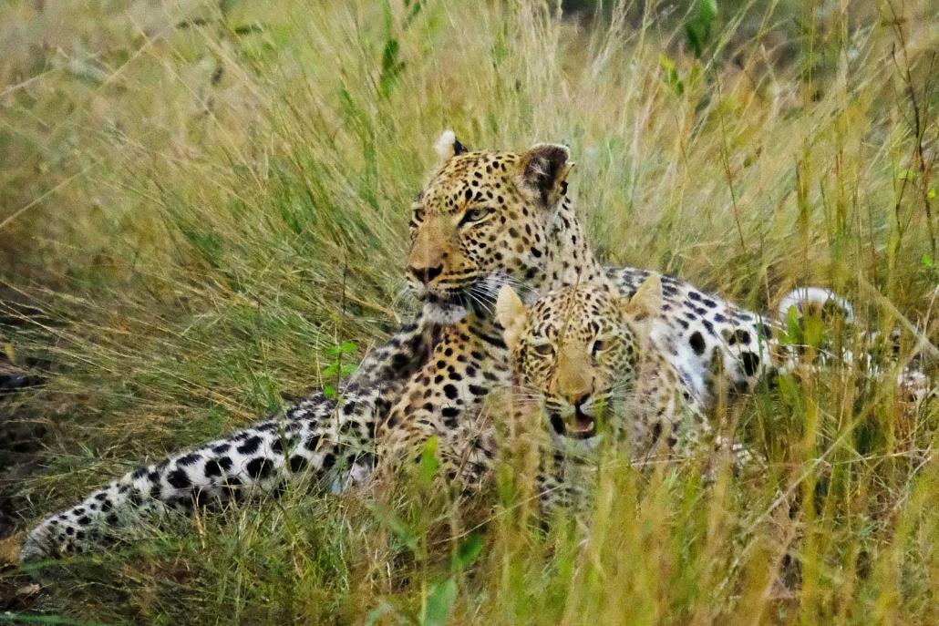 Zwei Leoparden liegen im Gras