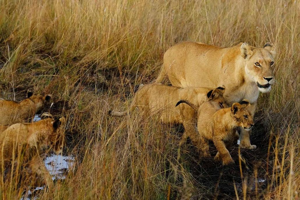 Die Löwin und ihre Jungen