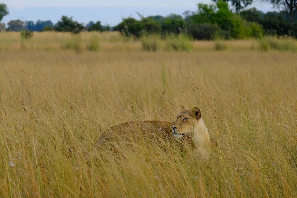 Löwin im hohen Gras