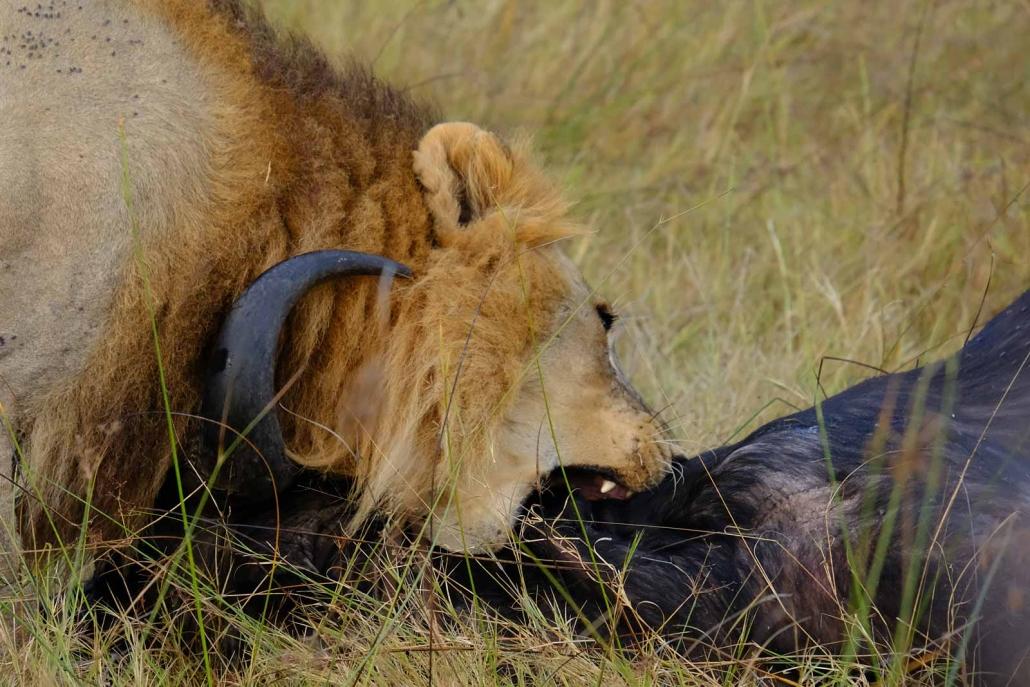 Fressender Löwe