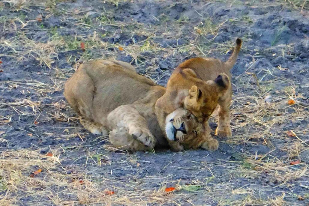Spielende Löwenkinder