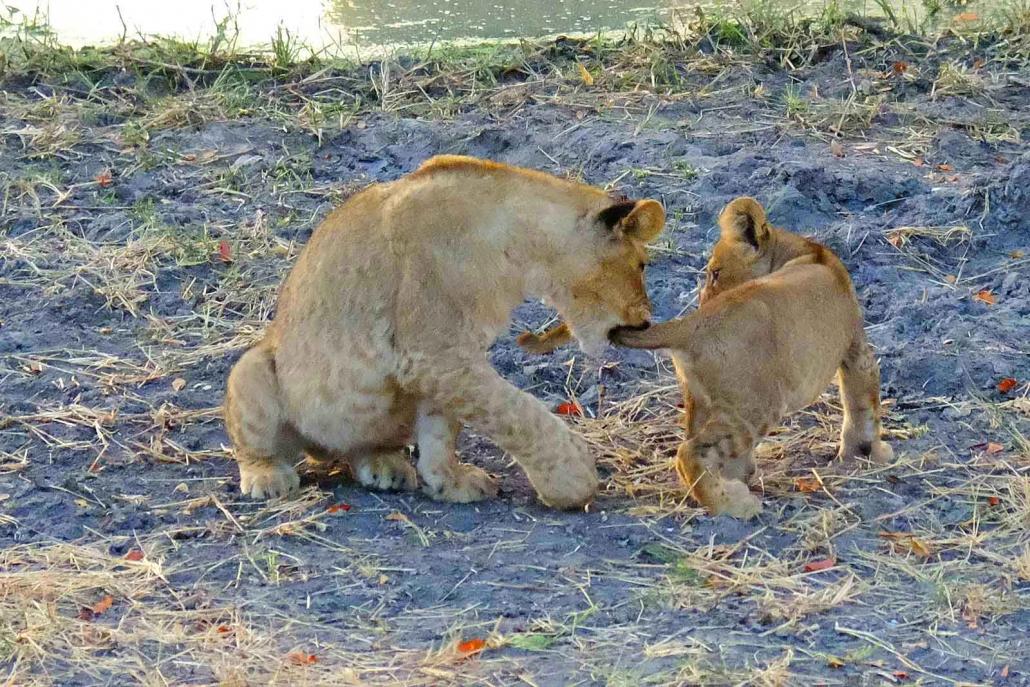 Spielende Löwenkinder im Okavango Delta