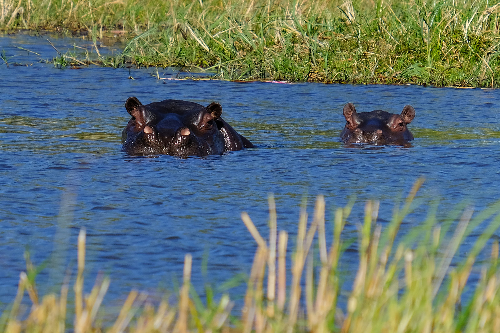 Two hippos having a bath at Khwai River in Botswana