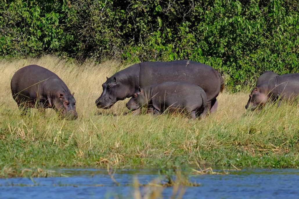 Flusspferde am Khwai River