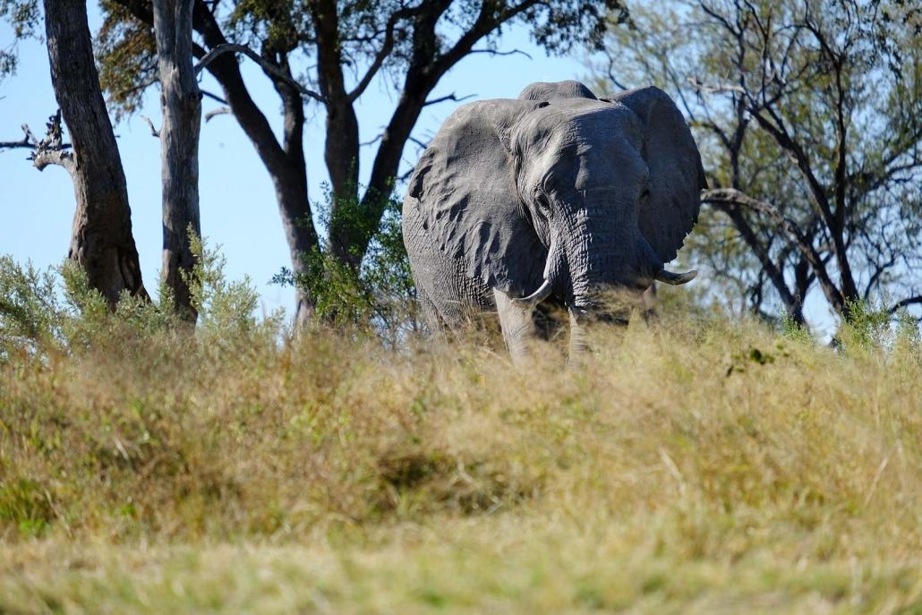 Elefant in Botswana