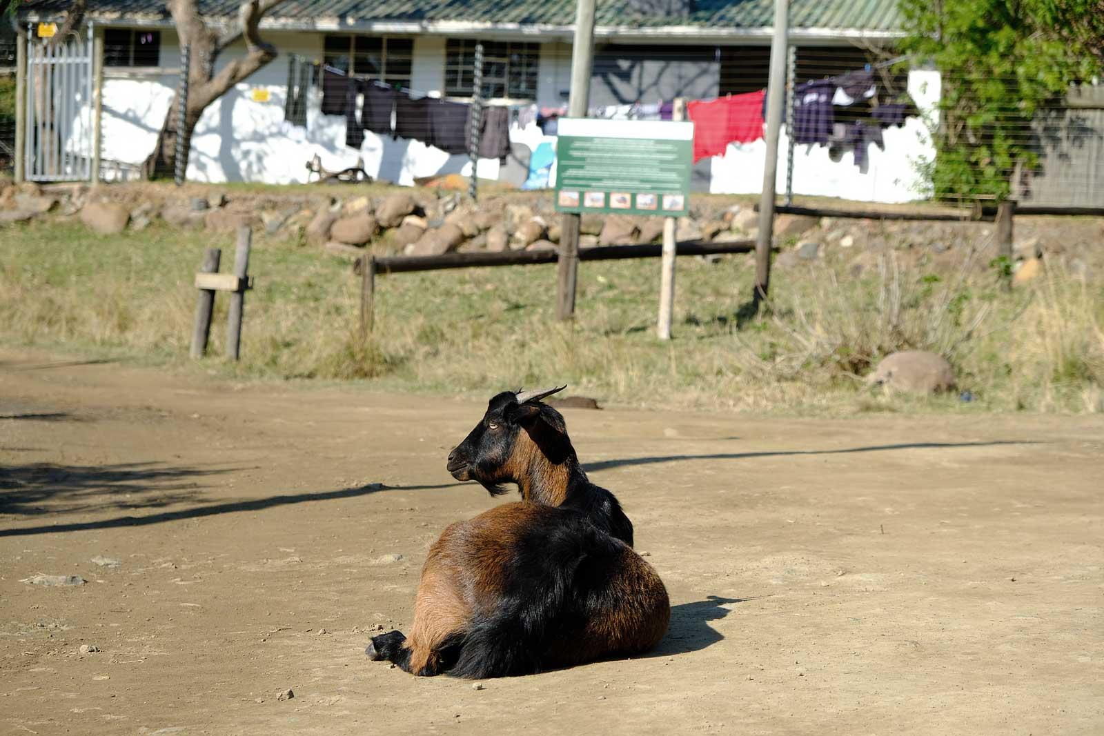 Eine Ziege liegt gemütlich auf der Dorfstraße in Mbotyi, Wild Coast Kwazulu Natal
