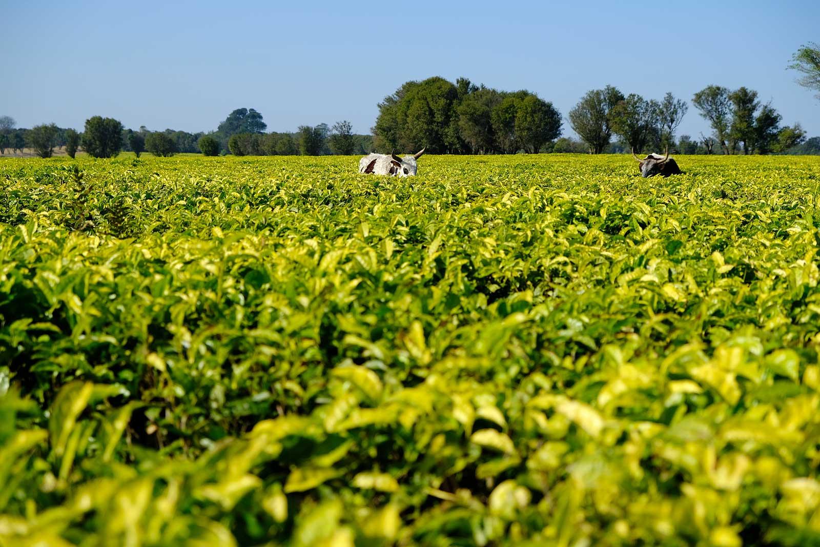 Kühe fressen sich in der Teeplantage satt