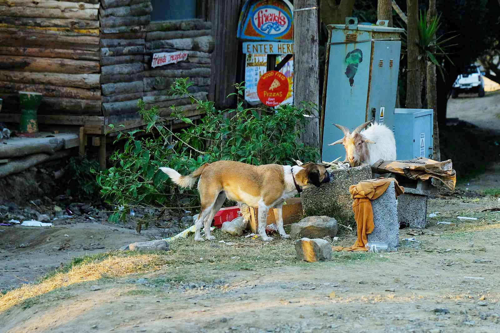 A dog and a goat searching for food in Coffee Bay Village