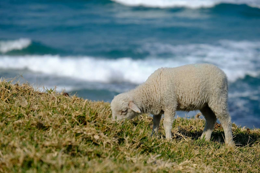 A little lamb feeds on grass at the Wild Coast