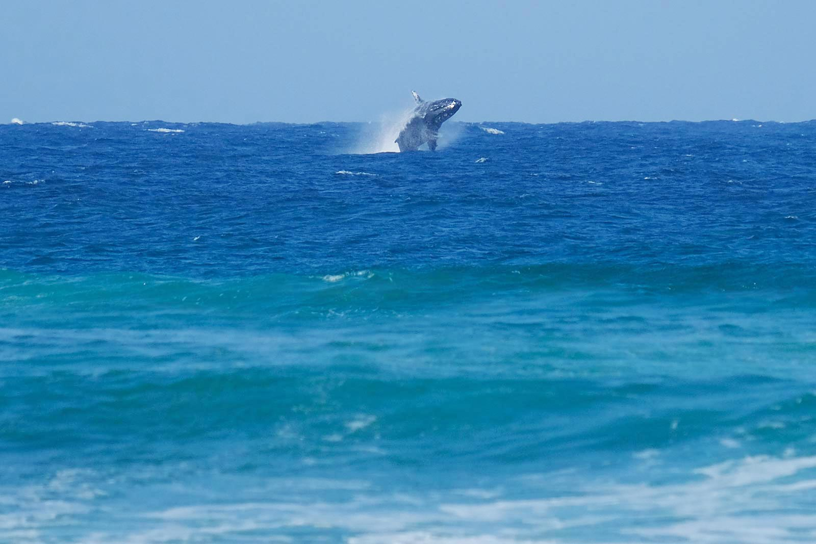 A whale is jumping out of the water