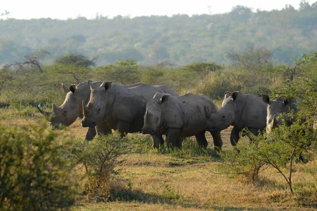 Fünf Nashörner im Hluhluwe-Imfolozi Reserve