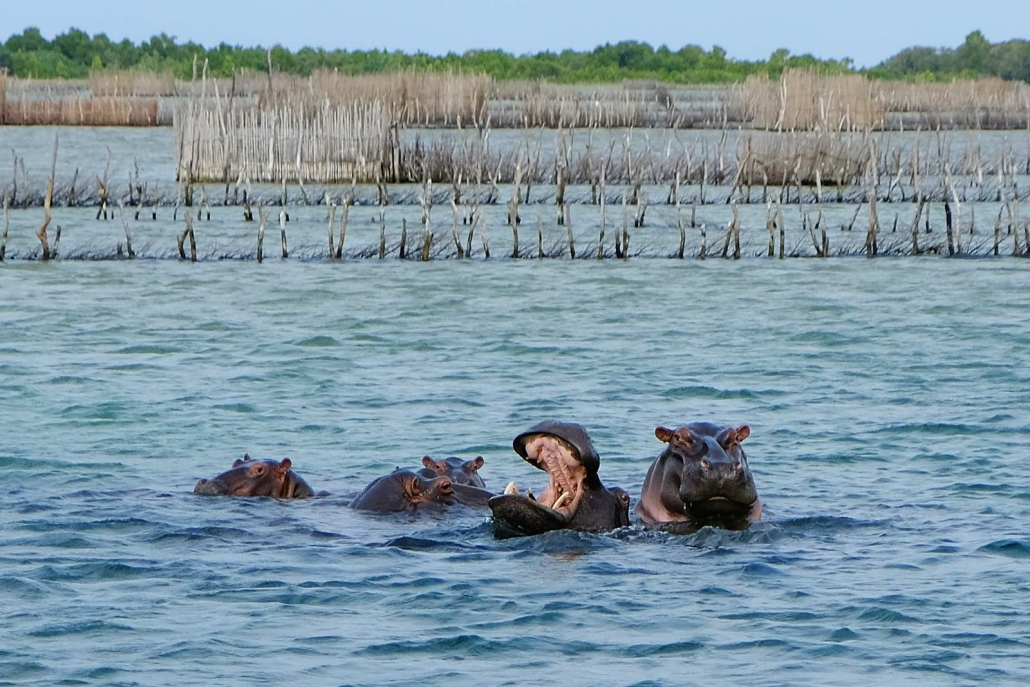 Hippos baden in der Kosi Bay, Kwazulu Natal