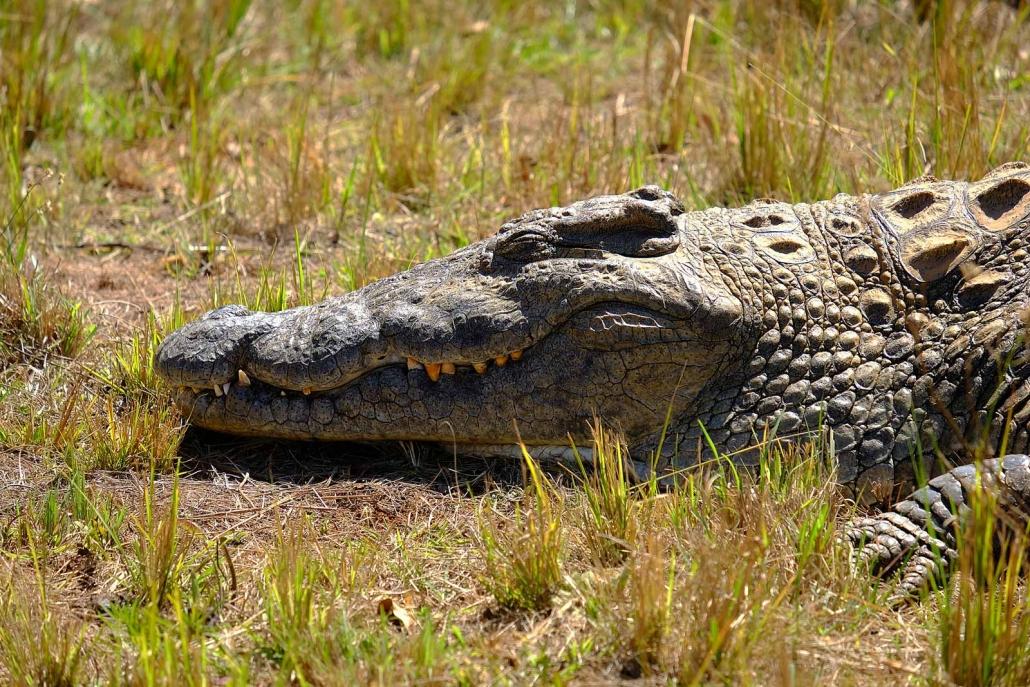 Krokodil sonnt sich im Gras