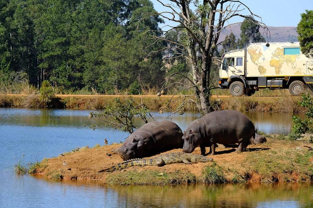 Flusspferde und ein Krokodil beim Sonnenbad